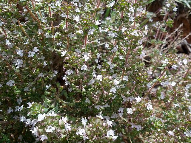 Tomillo en flor