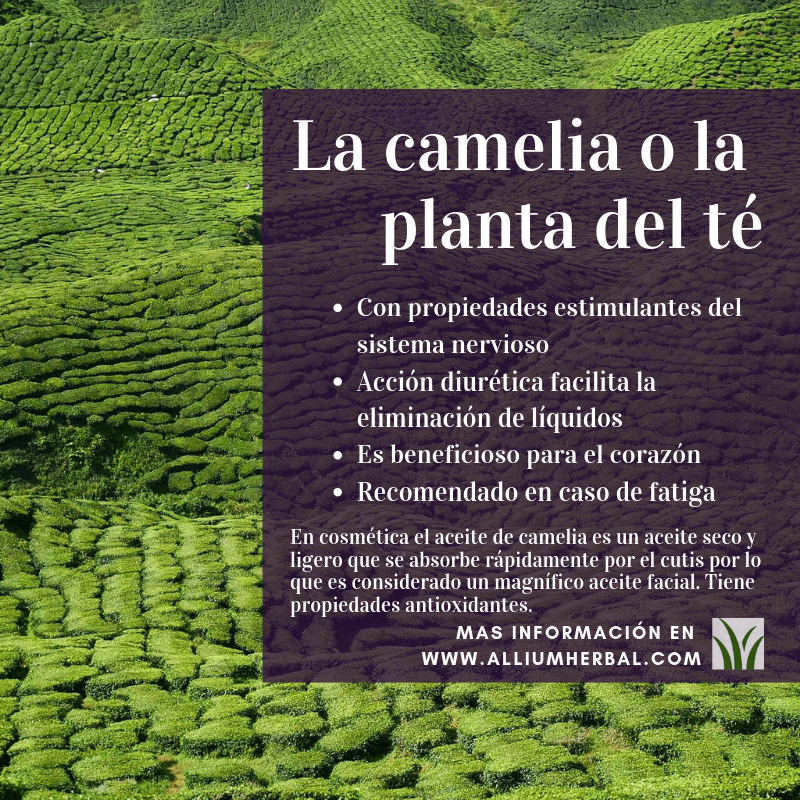 La camelia o la planta del té