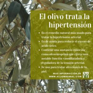 El olivo y sus hojas, trata la hipertensión arterial